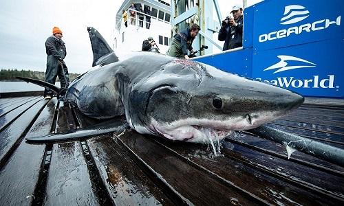 Cá mập Vimy và vết thương ở đầu. Ảnh: Fox.