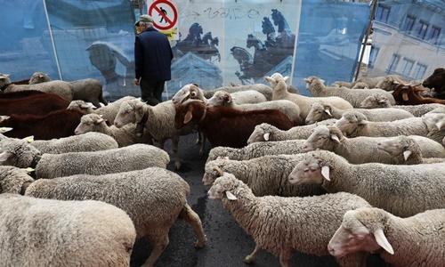 Những con cừu diễu hành qua đường phố thủ đô Madrid, Tây Ban Nha, ngày 20/10. Ảnh: Reuters.