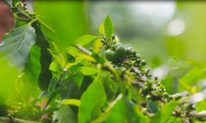 Công nghệ sản xuất cà phê Phú Yên