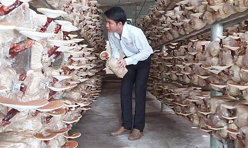 Công nhân cao su khởi nghiệp với mô hình trồng nấm