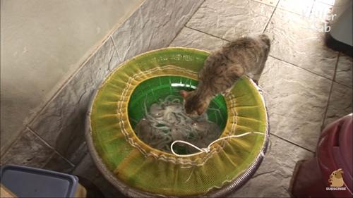 Trộm bạch tuộc, mèo bị con mồi phản công