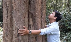 Quần thể gỗ trắc quý hiếm rộng hơn 500 ha