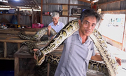 Đàn trăn 'khủng' mỗi con dài gần 7 mét
