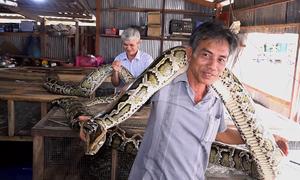 Đàn trăn dài 7 mét trong nhà lão nông