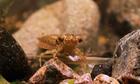 Ấu trùng chuồn chuồn - cỗ máy giết chóc dưới nước