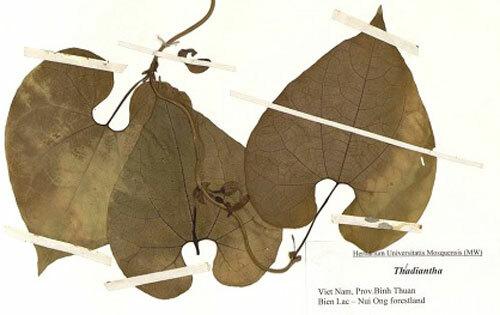 Mẫu lá mộc hương Bình Thuận. Ảnh: Bảo tàng thiên nhiên Việt Nam