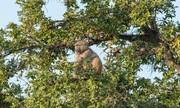 Khỉ đầu chó nhịn đòn của cò Lạo để hái quả