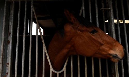 Một con ngựa đua ở Australia. Ảnh: Reuters.