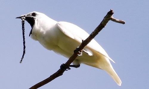 Chim chuông trắng. Ảnh: Newsweek.