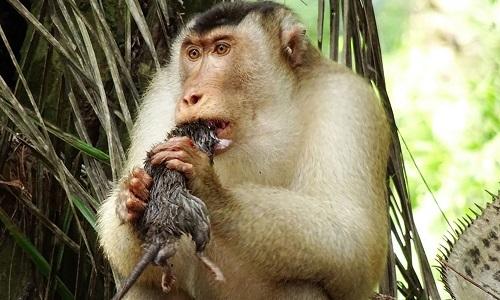 Khỉ đuôi lợn giúp kiểm soát chuột gây hại ở đồn điền dầu cọ. Ảnh: CNN.