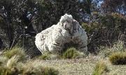 Australia đau buồn trước cái chết của 'cừu siêu lông'