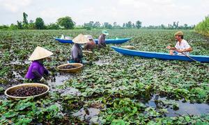 Nông dân lội ruộng thu hoạch củ ấu