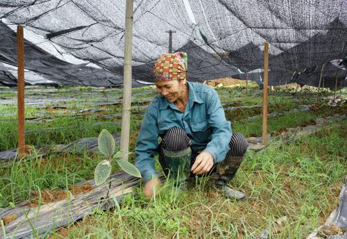 Nông dân Yên Sào chăm sóc cây dược liệu.