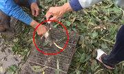 Thú vui dỡ chà bắt chuột mùa nước nổi ở miền Tây