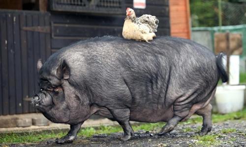 Lợn Twiglet dài 1,5 m và nặng đến hơn 190 kg. Ảnh: Sun.