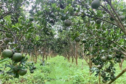 Vườn cam sành được chăm sóc theo tiêu chuẩn hữu cơ từ khâu chọn giống trồng, chăm sóc cho đến thu hoạch. Ảnh: Thanh Tùng.