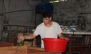 Người nông dân Hà Nội nuôi dế thương phẩm tăng thu nhập