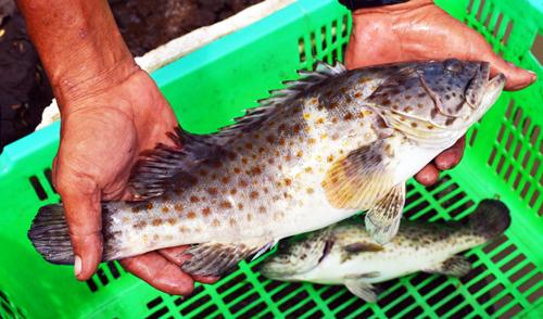 Mô hình nuôi cá bống mú mang lại thu nhập cao cho gia đình ông Hòa. ảnh: An Nhiên.