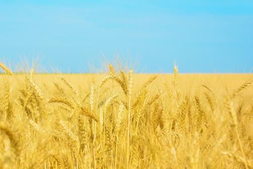 Một góc cánh đồng lúa mì ở Ukraine. Ảnh:Shutterstock