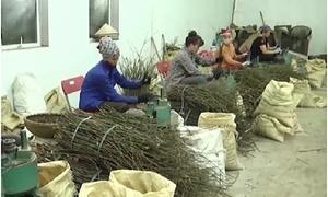 Huyện Văn Yên, Yên Bái giảm nghèo nhờ cây quế