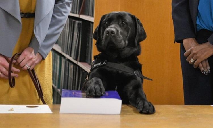Chó Hatty tuyên thệ nhậm chức tại văn phòng luật sư hạt Cook, bangIllinoishôm 29/10. Ảnh: ABC News.