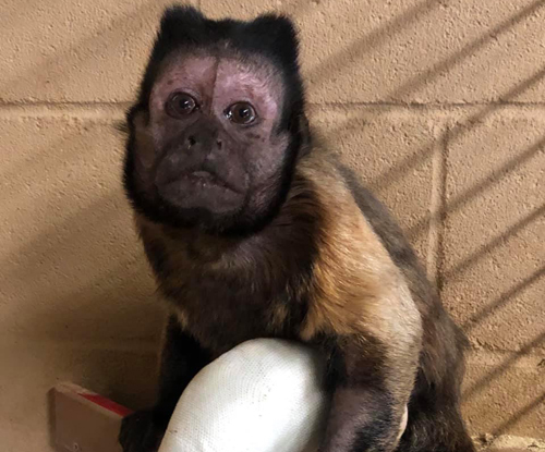 Khỉ Vern được điều trị gãy xương chân sau vụ đột nhập. Ảnh: CNN.