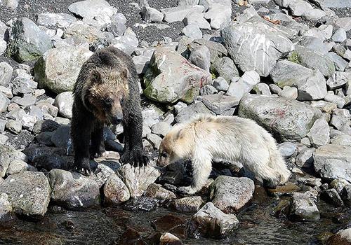 Khoảng 10% gấu nâu trên đảo Kunashir mang bộ lông sáng màu. Ảnh: Siberian Times.