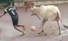 Con bò giữ bóng chắc hÆ¡n cả siêu sao bóng Äá