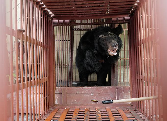 Cứu hộ gấu 150 kg tại trường Xiếc