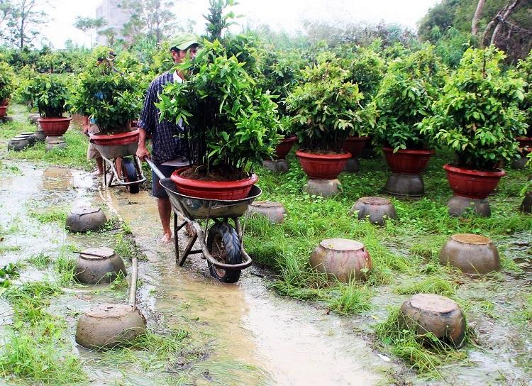 Người dân thủ phủ mai huyện An Nhơn, Bình Định dời chậu mai lên cao để tránh bão Nakri. Ảnh: Hạ Ly.