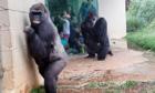 Gia đình khỉ đột ghét trời mưa