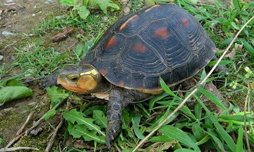 Rùa hộp viền vàng  tại Sở thú và Bảo tàng Okinawa. Ảnh: AFP.