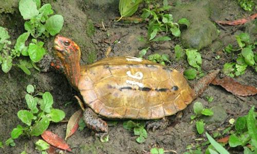 Rùa lá Ryukyu tại Sở thú và Bảo tàng Okinawa. Ảnh: AFP.