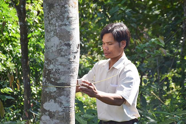 Ông Sơn đo một cây quế có đường kính gần 40 cm. Ảnh: Đắc Thành.
