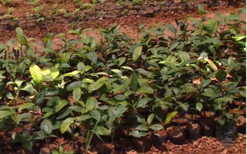 Vườn ươm cây Trà hoa vàng của Công ty Lâm sản Đạp Thanh. Ảnh: Hà Chi.