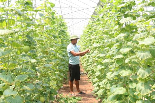 Anh Nguyễn Phúc Bách chăm sóc tỷ mỷ cho vườn dưa của mình. Ảnh: Dương Lan.