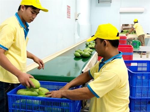 Xoài Việt Nam xuất khẩu. Ảnh: Cục Trồng Trọt