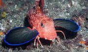 Loài cá có thể đi bộ dưới đáy biển