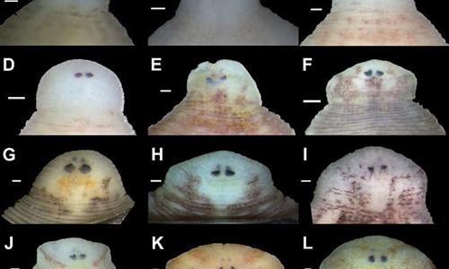 Vị trí và hình dạng mắt là đặc điểm giúp nhận dạng các loài đỉa mới. Ảnh: UPI.