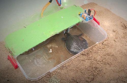 Một con cua đinh mới nở chui vào trong hộp nước của thùng ấp. Ảnh: Báo Hậu Giang