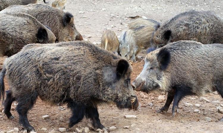 Lợn hoang ở vùng Tuscany. Ảnh: Vice.