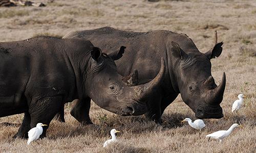 Tê giác đen hiện là loài cực kỳ nguy cấp trong Sách Đỏ thế giới. Ảnh: AFP.