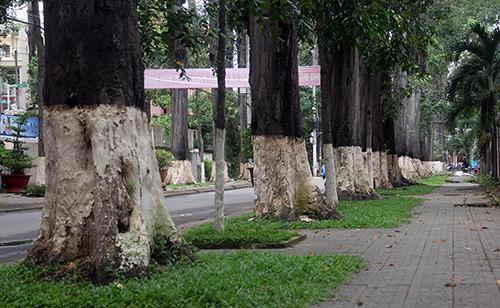 Hàng cổ thụ hơn trăm năm tuổi ở TP Trà Vinh. Ảnh: Cửu Long