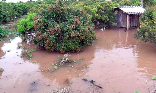 Vườn nhãn của người dân ở xã cù lao Đồng Phú bị ngập sâu. Ảnh: Hưng Lợi