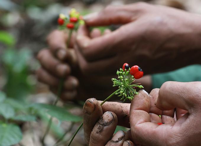 Mùa thu hoạch hạt sâm Ngọc Linh