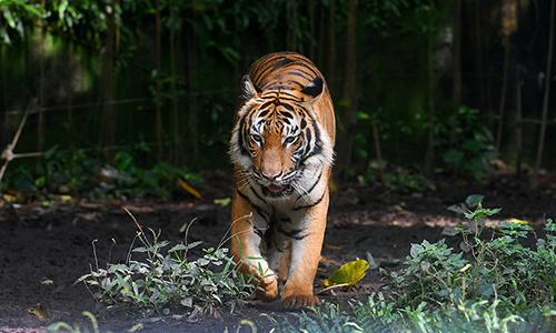 Hổ Sumatra là loài cực kỳ nguy cấp trong Sách Đỏ. Ảnh: Free Malaysia Today.
