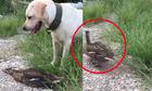 Vịt giả chết biến chó săn thành trò cười