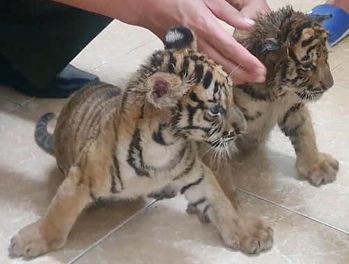 Mỗi con hổ nặng khoảng 4 kg. Ảnh: Đ.H