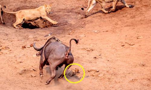 Sư tử con nhanh nhẹn tránh được đòn tấn công của trâu rừng. Ảnh: Johan Adolf Salman.