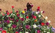 Cậu bé hóa thân thành hoa tulip